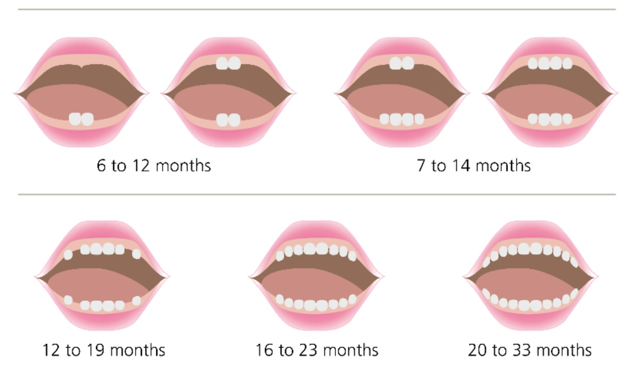 Tooth Eruption Chart courtesy of SA Health
