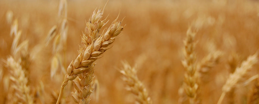 Wheat (containing gluten)